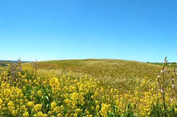 Collina con fiori gialli in primo piano