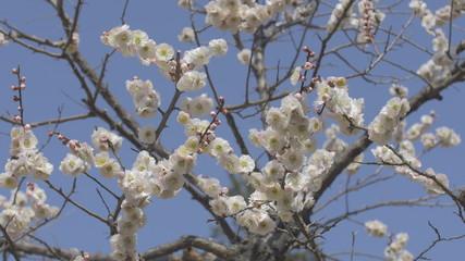 White Plum Flowers,in Showa Kinen Park,Tokyo,Japan.Filmed in 4K.
