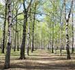 First spring greens in birch forest