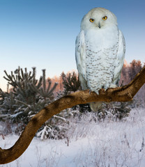 snowy owl  at  wildness