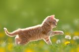 Fototapety Junge Katze spielt mit Pusteblume/Löwenzahn