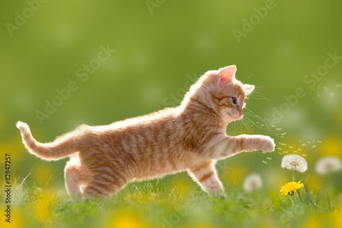 Zdjęcia na płótnie, fototapety na wymiar, obrazy na ścianę : Junge Katze spielt mit Pusteblume/Löwenzahn