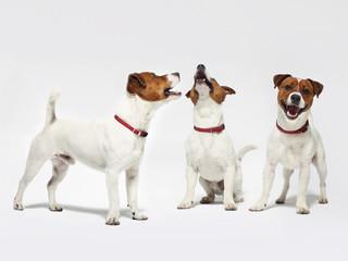 Wesołe psy na białym tle Jack Russell terrier