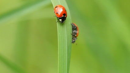 Two ladybugs on a single blade of grass.
