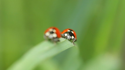 Ladybugs on a blade of grass. Rack focus.