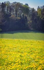 yellow flower field in nice weather
