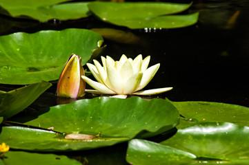 Blüte und Blätter einer Seerose auf einem See