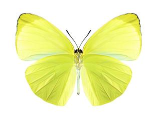 Butterfly Gandaca harina (male) (underside)
