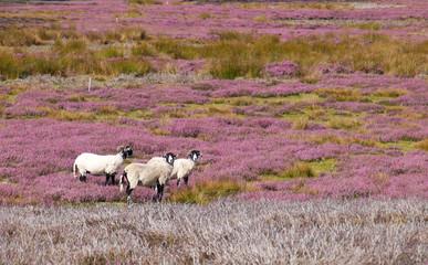 Three sheep amongst the heather