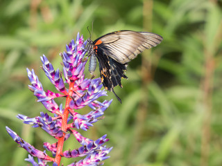 Exotic swallowtail butterfly