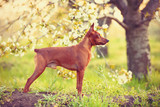 Photo of young miniature pinscher - 82863086