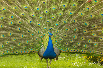 Blue Peacock spreading its tail