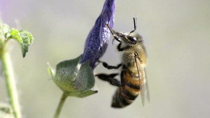 Working Bee on a flower.Artificial slow motion.