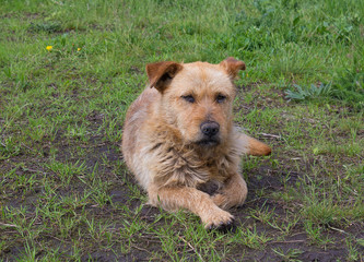 Homeless red dog on a green grass