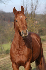 Nice chestnut horse looking at you