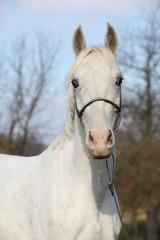 Beautiful white horse on pasturage