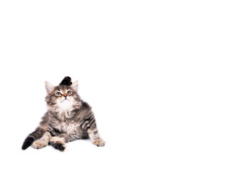 Katzenbaby/Sibirische Waldkatze