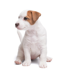 the puppy Jack Russell