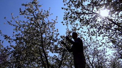 Cherry orchard blooming.