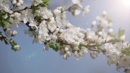 Branches of the blossoming cherry in a spring garden