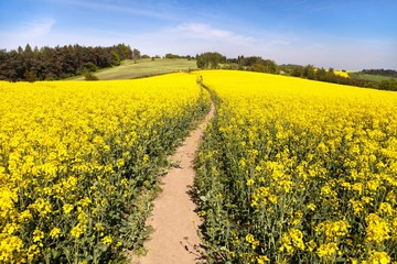 field of rapeseed (brassica napus) with rural road