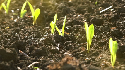 Growing Maize Corn Seedling Sprouts in Agricultural Farm Field
