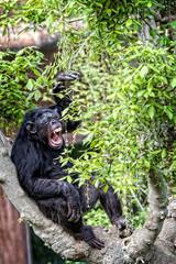 scimpanzé in cattività