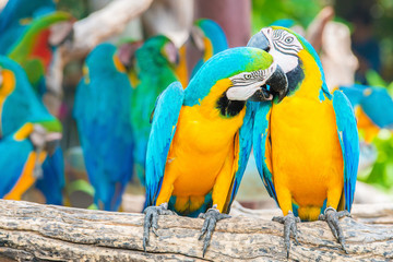 a love bite or a kiss?? Pair of colorful Macaws interacting.