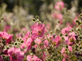 fiori rosa controluce