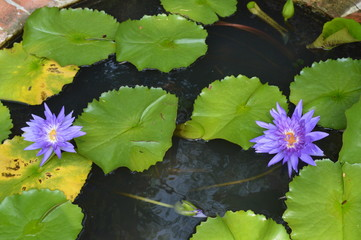 purple lily in water