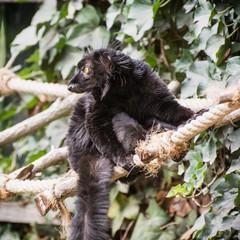 Black lemur on the rope