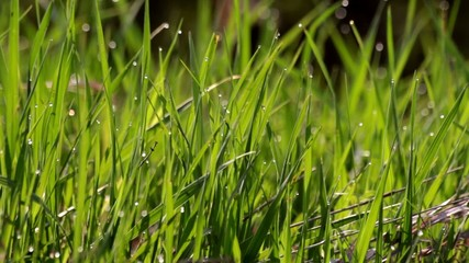 Drops Of water On Bright green Grass