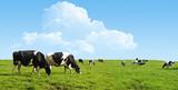 Fototapety Cows grazing on a green field.