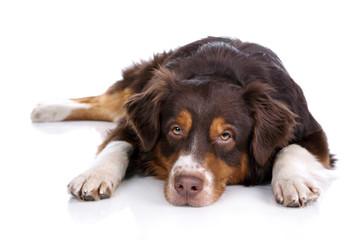 Sad dog lying on a white background
