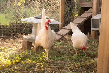 White and black and red hens walking on rural yard