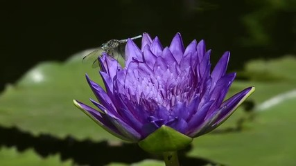 Dragon fly sits on the petals of a purple lily flower