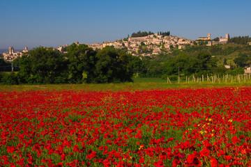 Campo di papaveri nei pressi di Spello in Umbria.