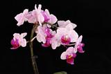 Fototapety pinke Orchidee