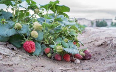 Strawberry plant closeup