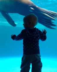 Little boy observing a sea lion through the glass in a zoo