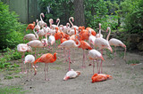 Pink flamingos in zoological garden poster