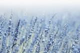 Lovely blurred blue violet lavender flowers background
