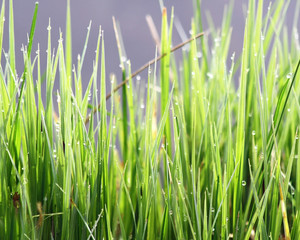 Blades of green grasses in early morning with tiny dew drops