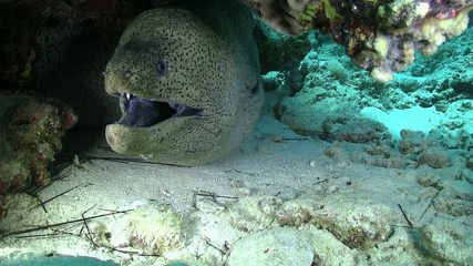 Murena on Coral Reef, Red sea