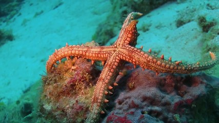 Tropical Starfish on Vibrant Coral Reef, Red sea