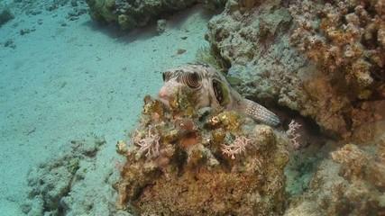 Pufferfish on Coral Reef, Red sea