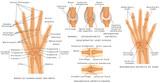 Skeletal System Phalanges