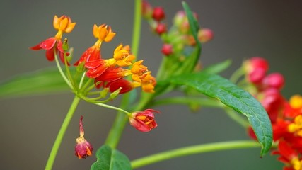 butterfly weed flowers are shaken by wind