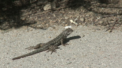 Lizard Scurries. A gecko crosses a road in Southern California.