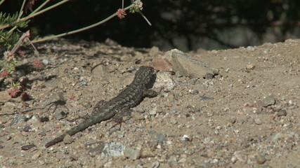 Lizard Crawling. A gecko crawls across a mound of dirt.